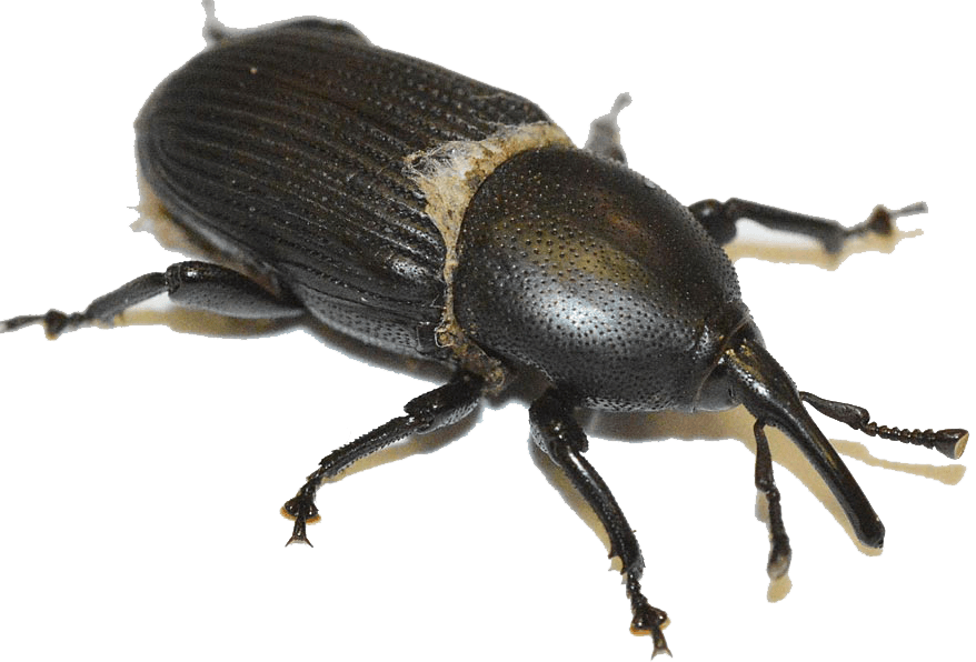 1488527541 picudo agave 01 - Escarabajos